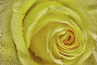 Royalty-Free and Rights-Managed Images - Wet Yellow Rose by Jon Glaser