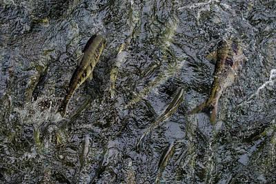 Photograph - Whatcom Salmon Run by Doug LaRue