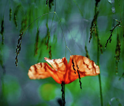 Modern Man Surf - Whispering Poppy Within The Deep Forest by ParaKrytous P