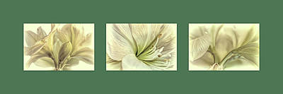 Watercolor Typographic Countries - White Amaryllis Triptych by Francis Sullivan