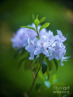 Sean Rights Managed Images - White Azaleas Ghostly Blooms Royalty-Free Image by Mike Reid