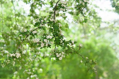Grace Kelly - White Blooms of Hawthorn by Jenny Rainbow