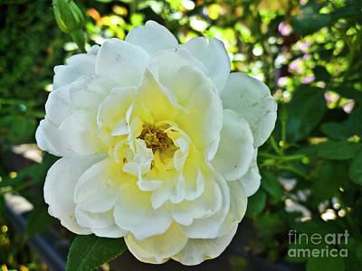 Just Desserts - White rose Flower_006 by Howard Stapleton
