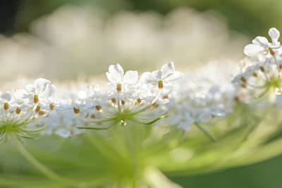Impressionist Landscapes - White Carrotflower Edge by Iris Richardson
