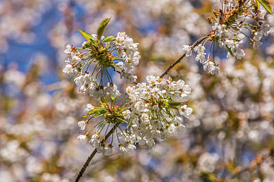 Food And Flowers Still Life Rights Managed Images - White Cherry Blossoms Royalty-Free Image by Marv Vandehey