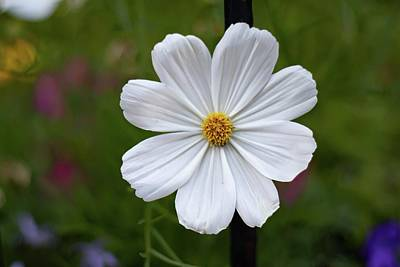 Crazy Cartoon Creatures - White Cosmos Flower by Marlin and Laura Hum