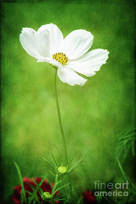 Outdoor Graphic Tees - White Cosmos Portrait by Anita Pollak