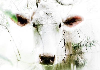 Photograph - White Cow by Christopher Nelson