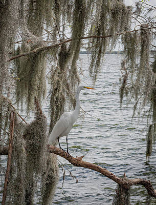 Animals Royalty-Free and Rights-Managed Images - White Crane by Rick Cooper