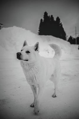1-war Is Hell Royalty Free Images - White Dog on Snow Covered Ground Royalty-Free Image by Celestial Images
