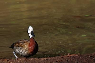 Garden Tools - White-Face Whistling Duck by Carol Montoya