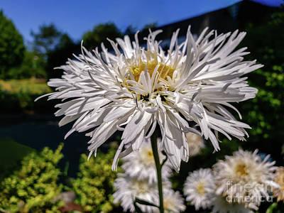Lovely Lavender - White flower with long petals by Viktor Birkus