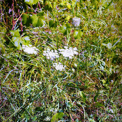 Frank J Casella Royalty-Free and Rights-Managed Images - White Flowers in the Prairie - Square by Frank J Casella