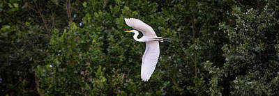 Crystal Wightman Royalty Free Images - White Great Egret Royalty-Free Image by Crystal Wightman