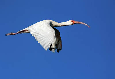Lori A Cash Royalty-Free and Rights-Managed Images - White Ibis in Flight by Lori A Cash