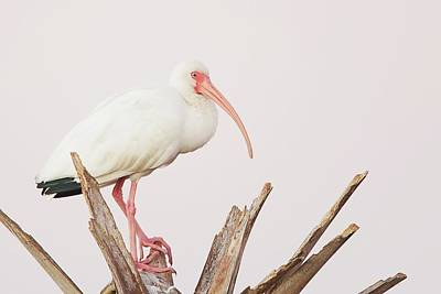 Lori A Cash Royalty-Free and Rights-Managed Images - White Ibis in Tree by Lori A Cash
