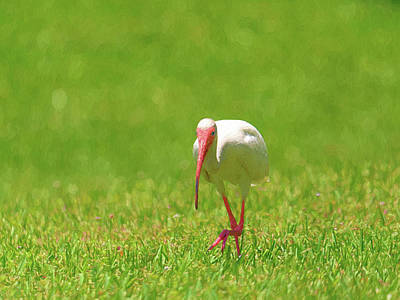 Vermeer Rights Managed Images - White Ibis Taking a Step Royalty-Free Image by Jill Nightingale