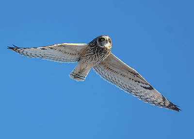 Bath Time Rights Managed Images - White Owl Flying Royalty-Free Image by William Jobes
