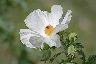 Spot Of Tea Royalty Free Images - White Prickly Poppy - Wildflower - Painterly Royalty-Free Image by Debra Martz