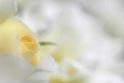 Whimsically Poetic Photographs Rights Managed Images - White Rose Royalty-Free Image by Gary Yost