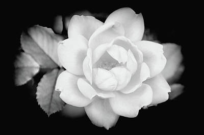 Food And Flowers Still Life Rights Managed Images - White rose Royalty-Free Image by William Reade