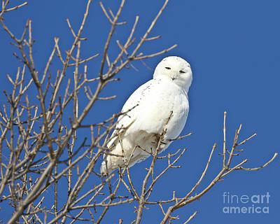 All American - White Snowy Owl Blue Sky by Heather King