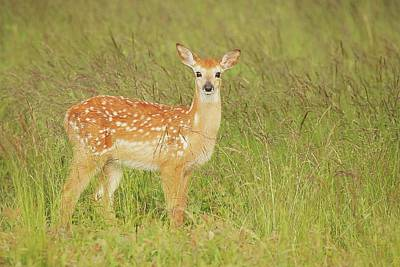 Lori A Cash Royalty-Free and Rights-Managed Images - White-tailed Deer Fawn by Lori A Cash