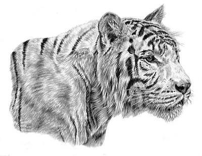 Animals Drawings - White Tiger by Pencil Paws