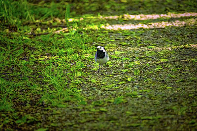 Classic Christmas Movies - White wagtail walk #l1 by Leif Sohlman