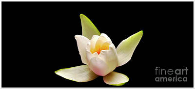 Food And Flowers Still Life Rights Managed Images - White water lily Royalty-Free Image by Chris Bee Photography