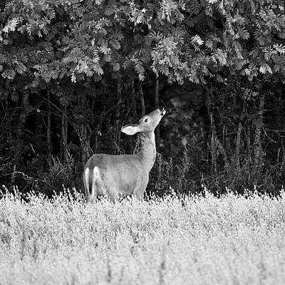 Wild And Wacky Portraits - Whitetail and the rowan berries bw by Jouko Lehto
