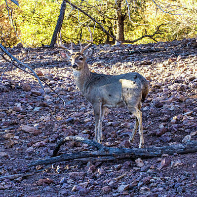 Animals Royalty-Free and Rights-Managed Images - Whitetail Deer Buck 001128 by Renny Spencer