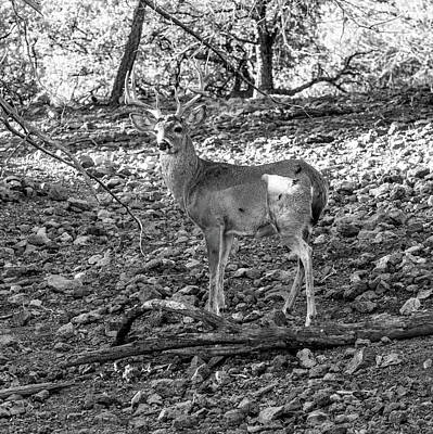 Animals Royalty-Free and Rights-Managed Images - Whitetail Deer Buck 001129 by Renny Spencer