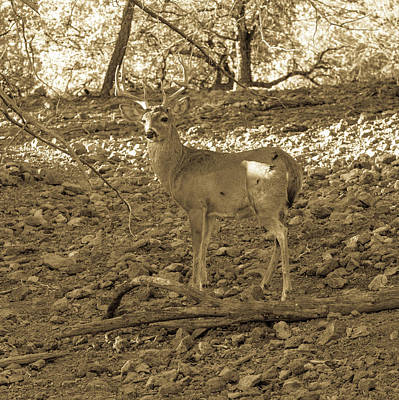 Animals Royalty-Free and Rights-Managed Images - Whitetail Deer Buck 001130 by Renny Spencer