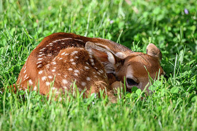 Photograph - Whitetail Deer Fawn Resting In Grass by Ray Sheley