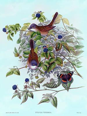Painting - Whitethroat Warbler, Sylvia cinerea Antique Bird Print by HC Richter, Birds of Great Britain by HC Richter