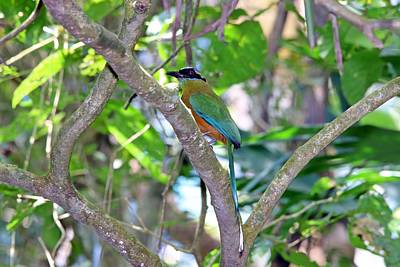 Animals Royalty-Free and Rights-Managed Images - Whooping Motmot Panama by Marlin and Laura Hum