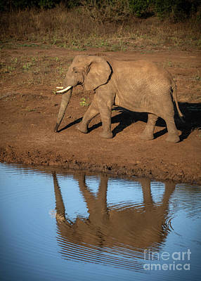 Animals Royalty-Free and Rights-Managed Images - Wild African Elephant Reflection by Jamie Pham