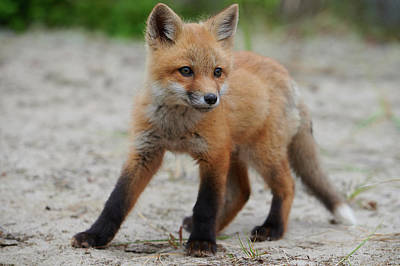 Curtis Patterson Rights Managed Images - Wild baby red fox on alert Royalty-Free Image by Curtis Patterson
