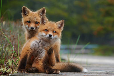Curtis Patterson Rights Managed Images - Wild baby red foxes at the beach, June 2020, Nova Scotia, Canada Royalty-Free Image by Curtis Patterson