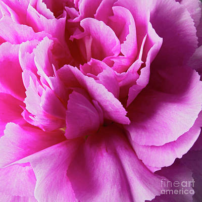 Kitchen Mark Rogan Rights Managed Images - Wild Carnation 1 Royalty-Free Image by Tony Cordoza