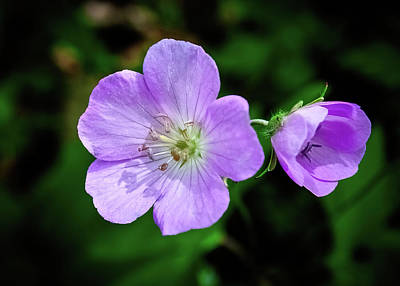 Farmhouse Rights Managed Images - Wild Geranium 5 Royalty-Free Image by David Beard