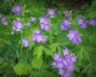 Photograph - Wild Geraniums by Phyllis Stokes