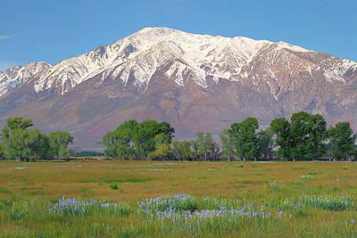 Abstract Trees Mandy Budan - Wild Irises and Mount Tom in Eastern Sierra, California by Ram Vasudev