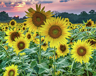 Royalty-Free and Rights-Managed Images - Wild Kansas Sunflowers At Sunset by Gregory Ballos