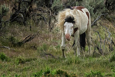 Animals Royalty-Free and Rights-Managed Images - Wild Thing - South Steens Herd by Belinda Greb