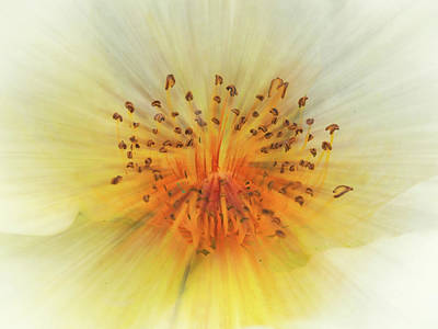Bath Time Rights Managed Images - Wild White Rose Royalty-Free Image by Philip Openshaw