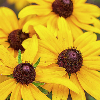 David Bowie Royalty Free Images - Wildflower Cluster - Black-eyed Susans in the Croatan National F Royalty-Free Image by Bob Decker