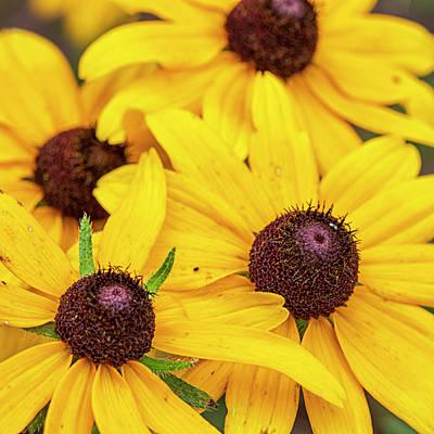 Pasta Al Dente - Wildflower Cluster - Black-eyed Susans in the Croatan National F by Bob Decker