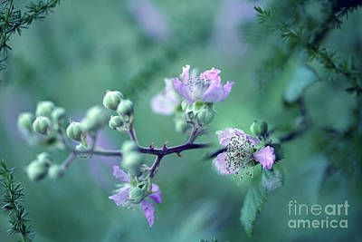World Forgotten Rights Managed Images - Wildflowers of Catalonia 1 - Rubus ulmifolius - Wild Roses In The Forest Royalty-Free Image by ParaKrytous P